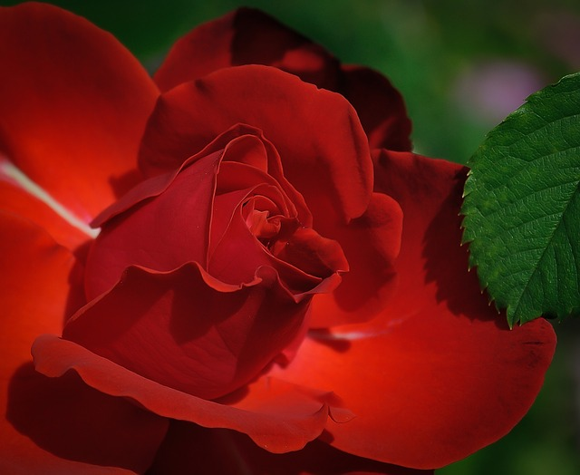 ruža.jpg